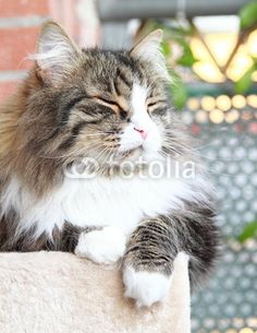 brown cat with white of siberian breed - new on @Fotolia