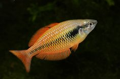 Melanotaenia Parva Neon Tetra, Tetra Fish, Colorful Fish, Tropical Fish, Cairns, Freshwater Aquarium Fish, Fish Aquariums, Plecostomus, Rainbow Fish