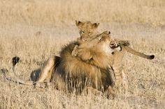 Zimbabwe Safari Areas, where to visit. Victoria Falls, Hwange and Matusadona are also excellent for your Safari arrangements Victoria Falls, African Safari, Zimbabwe, Cubs, Lions, Wilderness, Tourism, National Parks, Wildlife