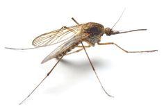 Vous en avez assez des moustiques qui viennent vous dévorer la nuit ? Heureusement, cette astuce de grand-mère va vous permettre de vous débarrasser des moustiques rapidement ! Avec ce piège, les moustiques seront attirés par les gaz de la fermentation du sucre. Ils seront ainsi coincés et ne pourront plus ressortir.