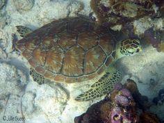 sea turtle sleeping