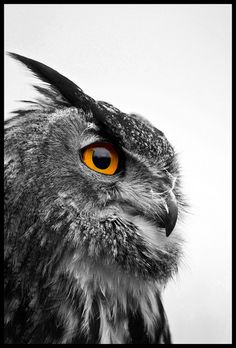 European Eagle Owl - Black and White by Chris _E78, via Flickr