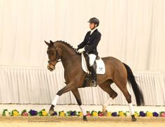 For Sale -  IMPORTED HANNOVERIAN 5 YEAR OLD HANNOVERIAN MARE by Sandro Hit Dressage horse