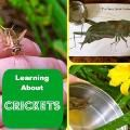 """A cricket hunt! Listening for and finding the cricket -- a great activity to go along with """"The Very Quiet Cricket""""  by Eric Carle"""
