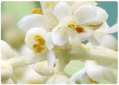 Flores de Bach - Olive - Olivo
