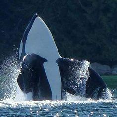 Keiko Orca, Orcas, Dolphin Family, Baleen Whales, Killer Whales, Wale, Ocean Creatures, Ocean Photography, Cute Funny Animals