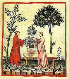 Sweet marjoram. Notice the decorated pot so that the delicate herb can be moved inside. The Tacuinum of Vienna - late 14th or early 15th century