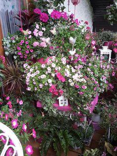 Die pinke Seite meines Balkons in voller Blüte. Anfang Juli 2106