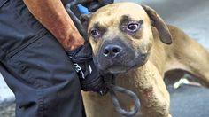 ASPCA Video: Abused Dog Fighting Victims, One Year Later. Please help to stop dog fighting.