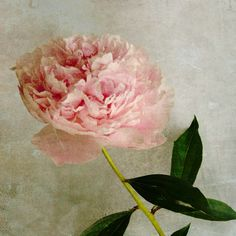 Pink peony photograph summer flower vintage inspired textured pink petals green leaves pink flower - P is for Peony 8x8. $30.00, via Etsy.