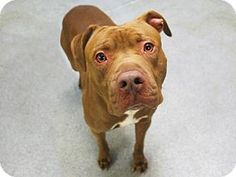 06/15/2016 SUPER URGENT ADOPT AJ, Pit Bull Terrier Mix breed Dog in New York, currently in foster care, chocolate coloured young adult male dog, housetrained, knows commands, good with dogs, good with cats, active, playful.