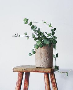 This beautiful Silver Dollar Vine houseplant sits on a wooden stool in a clay pot. A simple to grow and beautiful houseplant that adds some eye-catching botanical design to any living room or bedroom. Yay plants!