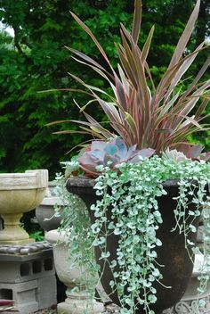 Phormium 'Pink Stripe with Echeveria 'Afterglow' and Dichondra