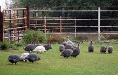 Guinea Fowl great for getting rid of ticks, yellow jackets, grasshoppers & mosquitoes. Love having them around!