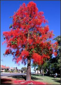 flame tree - red vibrant outstanding standing out siren call consuming ministerial monastery monarch moment alluring capturing captivating contrast Patio Trees, Trees And Shrubs, Flowering Trees, Garden Shrubs, Landscaping Plants, Unique Trees, Colorful Trees, Drought Tolerant Trees, Flame Tree