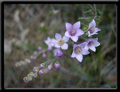 Spring - Perth Hills - Wildflowers of Western Australia