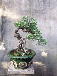 Exposed root Tamarind bonsai
