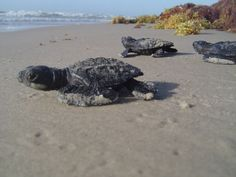 Welcome Baby Sea Turtles Into The World