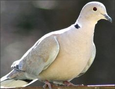 Ringneck Dove - .   Love to hear them coo.
