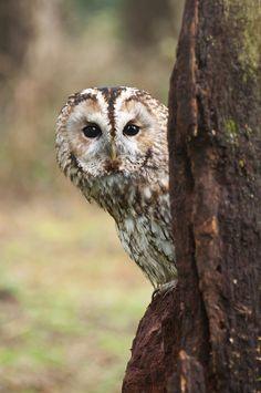 Tawny Owl - by Tom-sabin