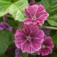 malva sylvestris purple satin