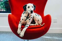 This Deaf Dalmatian Defied The Odds And Is Now Making The World A Better Place