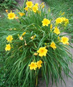 Stella doro daylily plant...it's a perennial that is also a long bloomer and stays where you put it.  Easy maintenance!