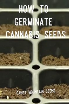 """Sow cannabis seeds ¼-½"""" deep, pointy-end up, in a starter cube or well-aerated soil. Seeds germinate best at room temperature, with moderate humidity and a ratio of air to water in the grow medium. Cannabis Edibles, Marijuana Plants, Cannabis Plant, Cannabis Oil, Medical Cannabis, Growing Weed, Cannabis Growing, Cannabis Cultivation, Weed"""