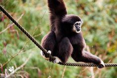 Gibbon beim Pipi erwischt :D Zoo Schmiding