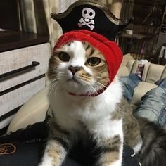 海賊王にオレはニャる はくーがっがんばれ〜〜‼️ 弱そうだけどー笑 #CAT#CATS#cat#cats #ragamuffincat #ragamuffins #ragamuffin #猫#愛猫#ねこ#ネコ#ねこ部 #ねこスタグラム #ねこら部 #catsofinstagram #catstagram #琥珀#はく#海賊王#ラガマフィン#可愛い
