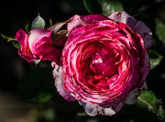 https://flic.kr/p/ToemHD | Red Cabbage Rose? - Roses galore -  Las Garzas - April 3 2017-3 | Also join me at www.flickr.com/photos/jax_chile/ and/or johnbankson.tumblr.com/  Photos by John Edward Bankson using a Fujifilm X-T1 camera paired with a Fujinon XF50-140mm F2.8 R LM OIS WR lens with a Fujinon XF 1.4X TC WR Teleconverter.