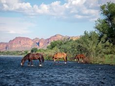 It may surprise even the most nature-oriented local to Arizona but there  are wild mustangs on the Lower Salt and Lower Verde Rivers. Seriously.