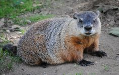 """You ever see an adult groundhog close up (in the wild)?  It's pretty terrifying the first time, especially if it's in your own yard.  """"BIG RAT!  PRAIRIE DOG-ZILLA!  BEAVER!""""  It takes a while to reconcile.  But once you realize that it's eating what you're planting, you get a whole new kind of courage."""