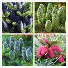 50 unids/lote corea abeto, Abies koreana semillas bonsai semillas de flores, semillas de árboles, planta para el hogar y jardín envío gratis(China (Mainland))