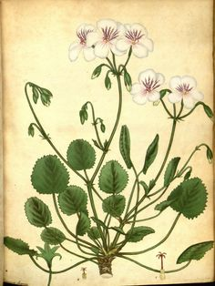 Round-leaved Geranium (Geranium Elegans).Plate from 'The Botanist's Repository' by Henry Andrews. Published 1797 by The author in London archive.org
