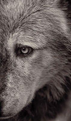 3 Wolf, beautiful wolfBeautiful Creatures Beautiful Creatures may refer to: Wolf Spirit, Spirit Animal, Wolf Pictures, Animal Pictures, Beautiful Creatures, Animals Beautiful, Tier Wolf, Animals And Pets, Cute Animals