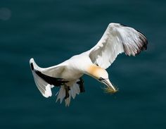 Gannet flying in with nesting material