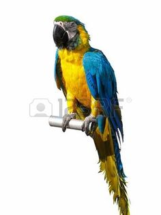 colorful blue and yellow parrot isolated over white background Foto de archivo - 14267260