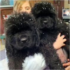 Newfoundland puppies