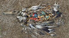 Saving the albatross: 'The war is against plastic and they are casualties on the frontline' Plastic, Instagram Posts, Image, Experiment, Free Printable, Texas, Soup, Ocean, Birds