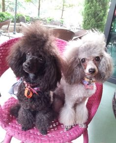 Dordor and Sol♡ #silverpoodle #bluepoodle #blackpoodle #toypoodle #poodle #silver #blue #black #cute #sweet #cool #baby