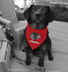 Dolly will be wearing her Chicago Blackhawks dog bandana from Doggienation.com to BlogPaws 2015 Conference in Nashville May 28-30.