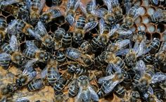 An Interview with Natural Beekeeper Phil Chandler Andy: Phil Chandler is MyGardenSchool's bee keeping tutor. His course, Natural Beekeeping for Gardeners, focuses on keeping bees for their own sake and fosters a greater understanding of these remarkable creatures upon whom man is so dependent. Phil shares just a little of...