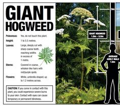 beware giant hogweed