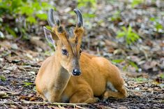 13. Southern Red Muntjac. Found in south Asia, it has soft, short, brownish or greyish hair and is omnivorous, feeding on grass, fruits, shoots, seeds, birds' eggs as well as small animals. It sometimes even displays scavenging behavior, feeding on carrion. It gives calls similar to barking, usually upon sensing a predator.  Males are extremely territorial and—despite their diminutive size—can be quite fierce. They will fight each other for territory using their antlers or their tusk-like…