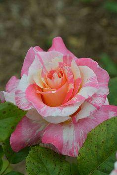 By A Natureza E Os Animais: Flores, rosas, jardins e plantas.
