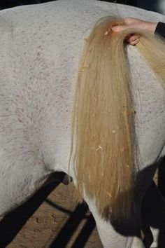 How to whiten a stained tail! http://www.proequinegrooms.com/index.php/tips/manes-and-tails/keeping-a-white-tail/