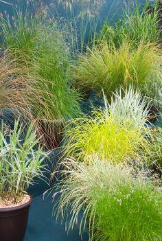 Ornamental grasses in pots including Deschampsia caespitosa Goldtau, Carex morrowii Ice Dance, Carex phyllocephala Sparkler, Carex elata Aur...