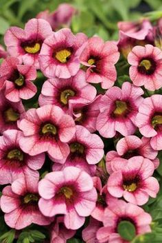 'Superbells Strawberry Punch' Calibrachoa  Abundant large flowers in medium pink with a fuchsia eye cover this trailing plant.