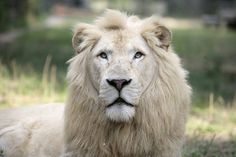 The white lion is a rare color mutation of the Kruger subspecies of African lion (Panthera leo krugeri) found in some wildlife reserves in…